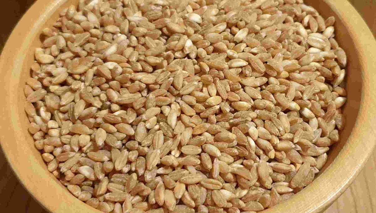 Getreidereis Sommeremmer Spelta
