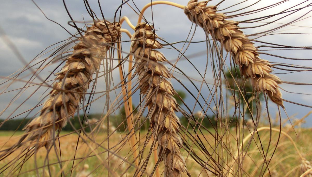 Kreuzritter-Weizen