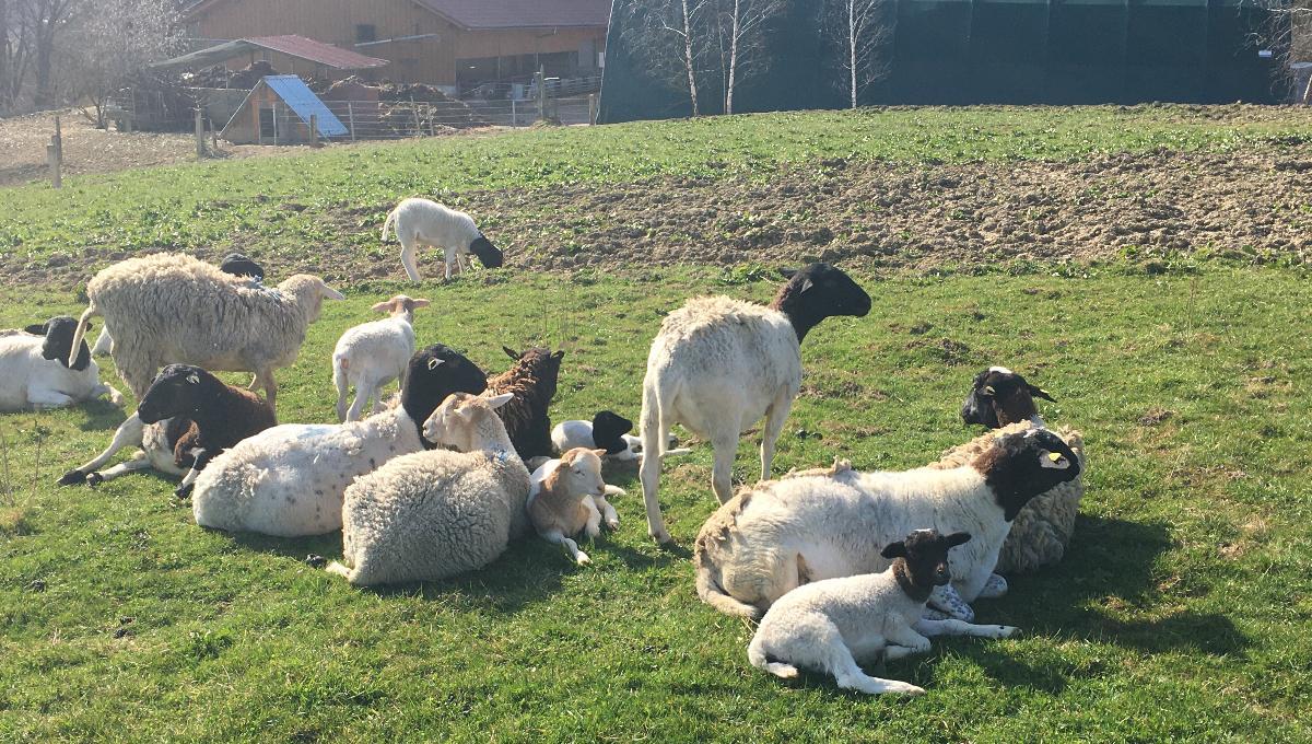 Lammfleisch vom Dorper Schaf