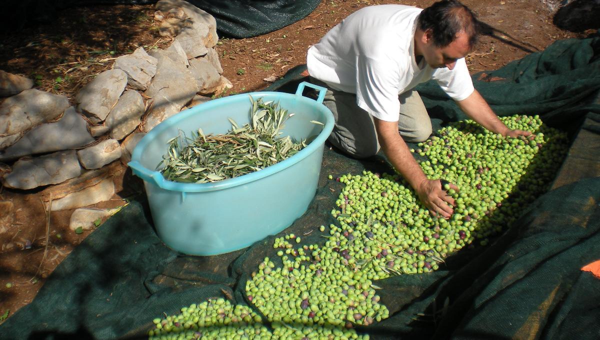 Nicolo's Olivenöl