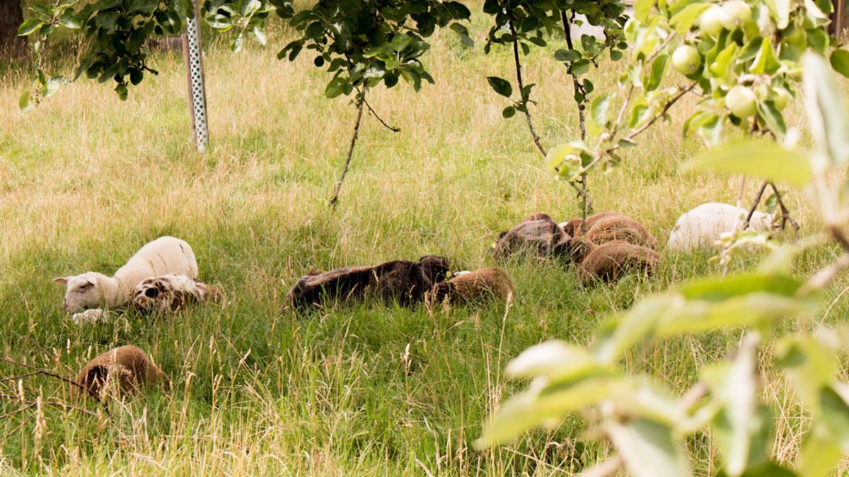 Schaf- und Ziegenzucht